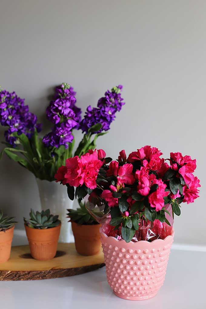 Azalea and purple stock for spring home decor