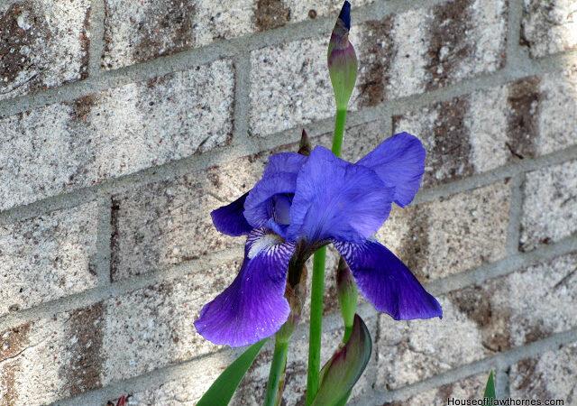 Iris I Were A Flower