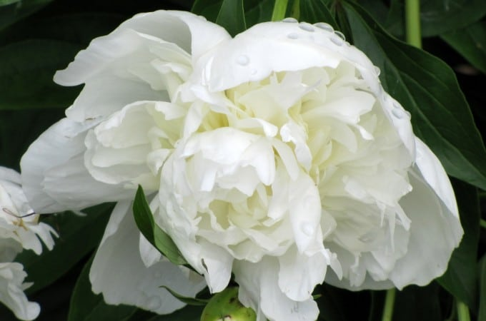 Peonies Have Arrived