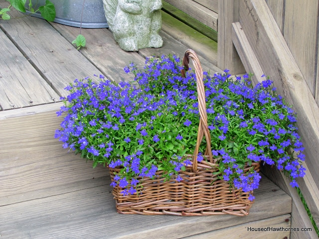 Blue Lobelia care