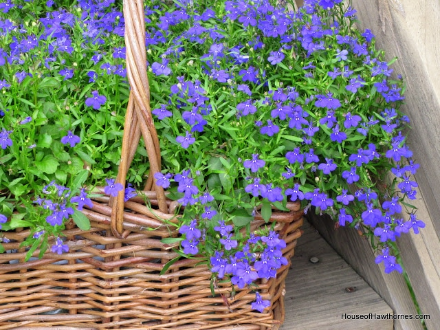 Lobelia plant care