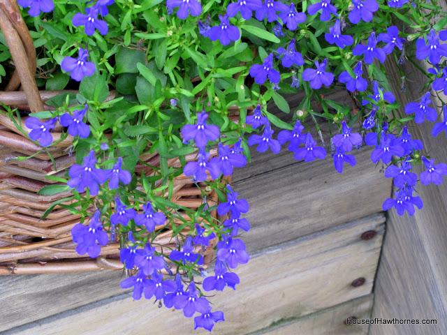 Growing Lobelia in containers