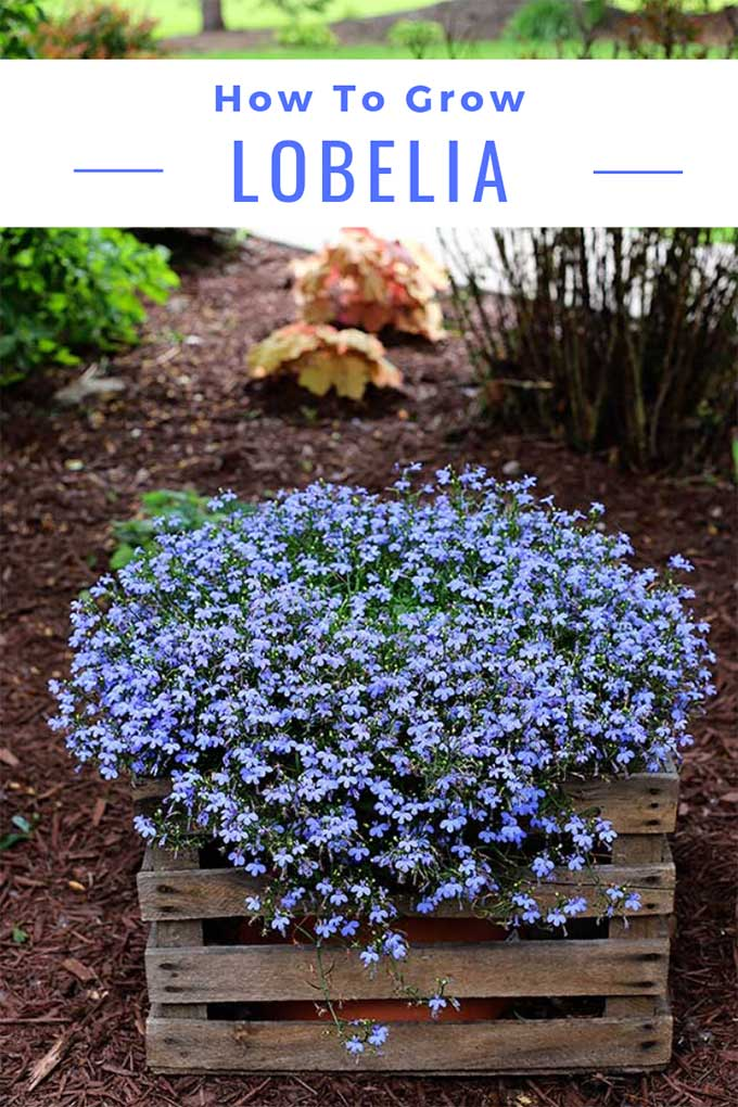 How To Grow Lobelia
