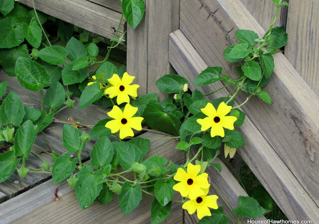 Black Eyed Susan Vine Update
