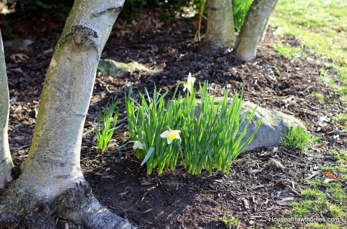 Daffodil Update