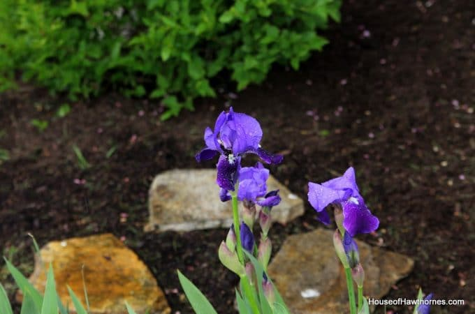 My Blooming Iris