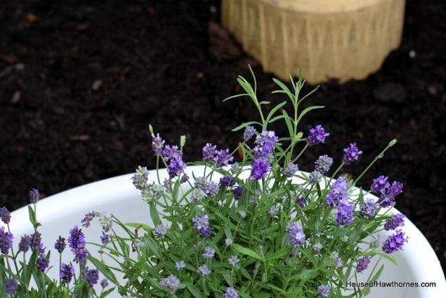 Lavender plants setting in an enamelware basin.
