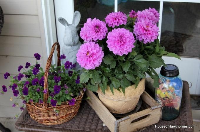 A Purple Dahlia