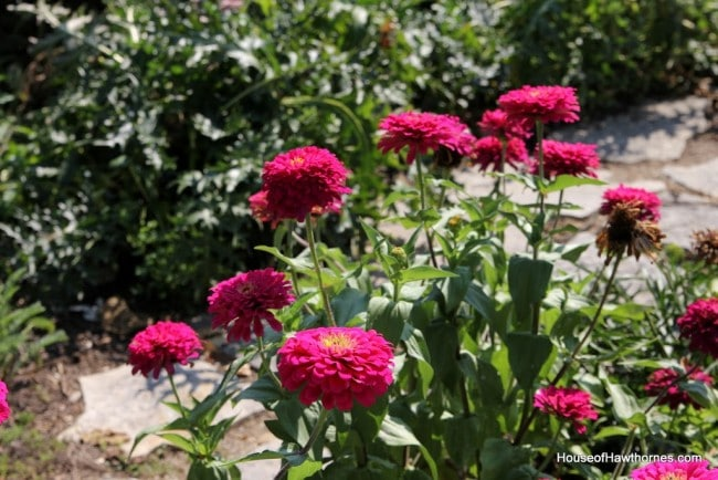 Pink zinnia at the Franklin Park Conservatory Community Garden
