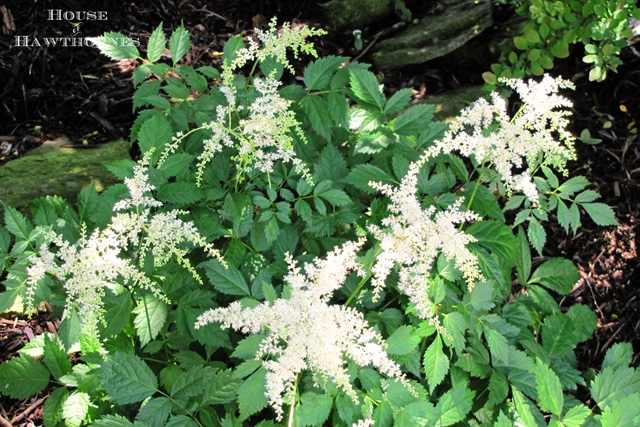 Astilbe - One of 5 Fabulous Perennials For Your Summer Garden