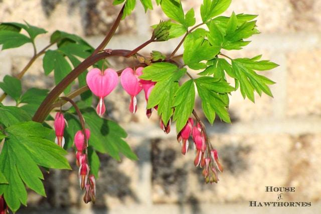 Bleeding Heart aka Dicentra - One of 5 Fabulous Perennials For Your Summer Garden