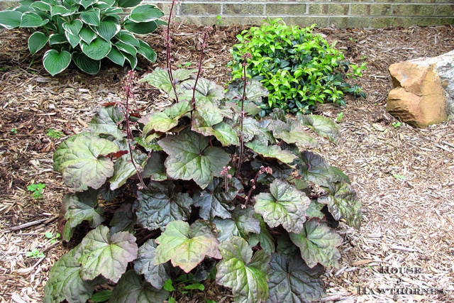Coral Bells aka Heuchera - One of 5 Fabulous Perennials For Your Summer Garden