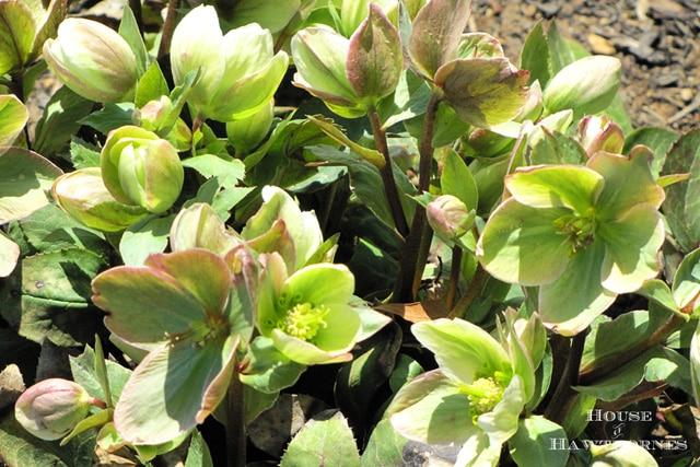 Hellebore aka Helleborus - One of 5 Fabulous Perennials For Your Summer Garden