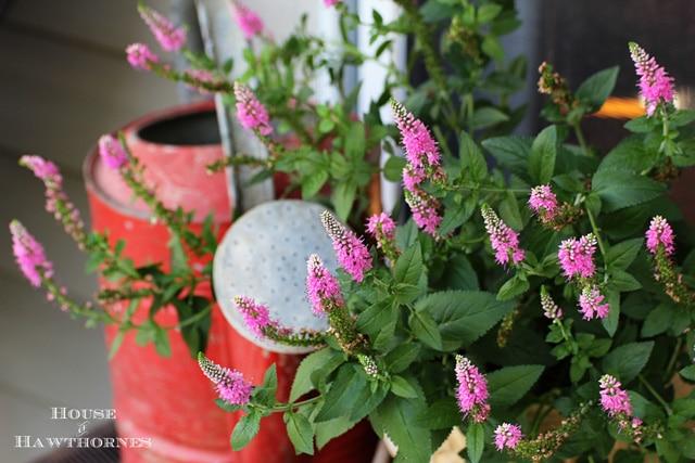 Speedwell aka Veronica - One of 5 Fabulous Perennials For Your Summer Garden