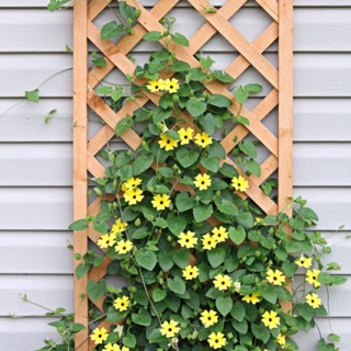 Growing Black-Eyed Susan Vine
