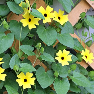 Black-Eyed-Susan-Vine-8054