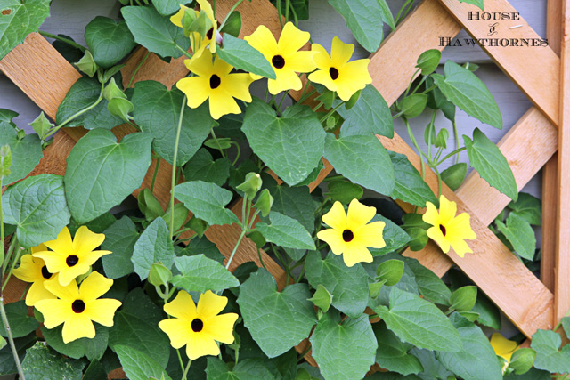 excellent long vine house plant. Black eyed Susan vine  you must plant one of these in your garden this Eyed Vines aka Heaven On Earth