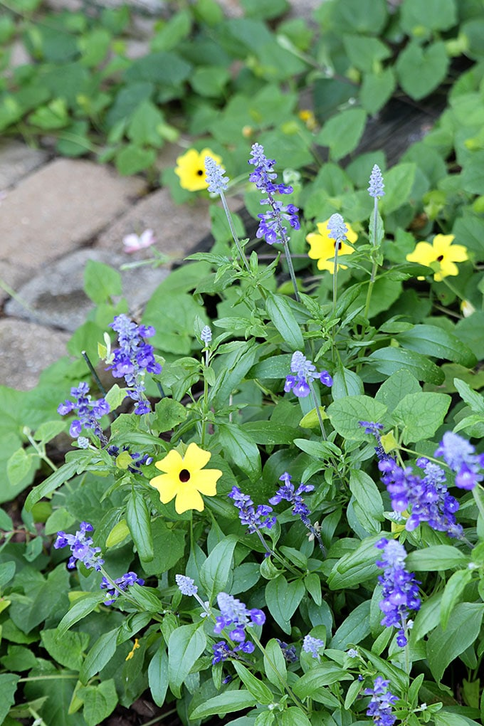 Victoria Blue Salvia planted as a companion plant alongside Black-eyed Susan vine