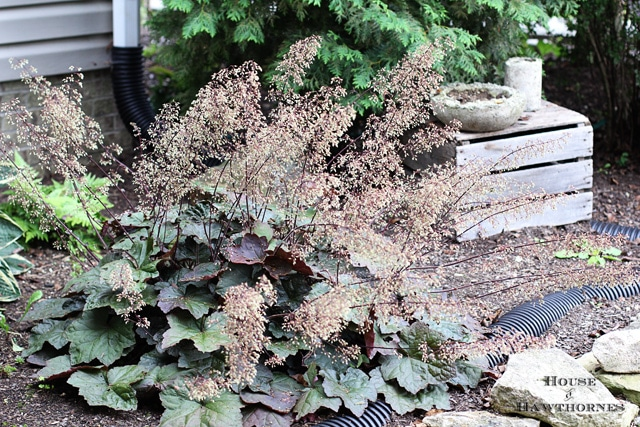 Purple Palace Coral Bells (Heuchera Micrantha 'Purple Palace')