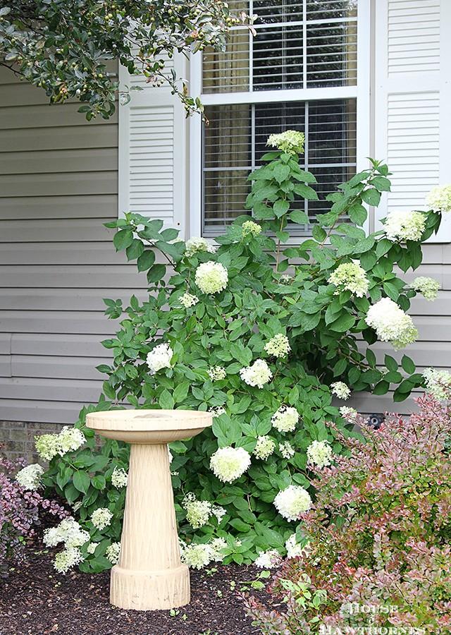 How To Grow Limelight Hydrangea