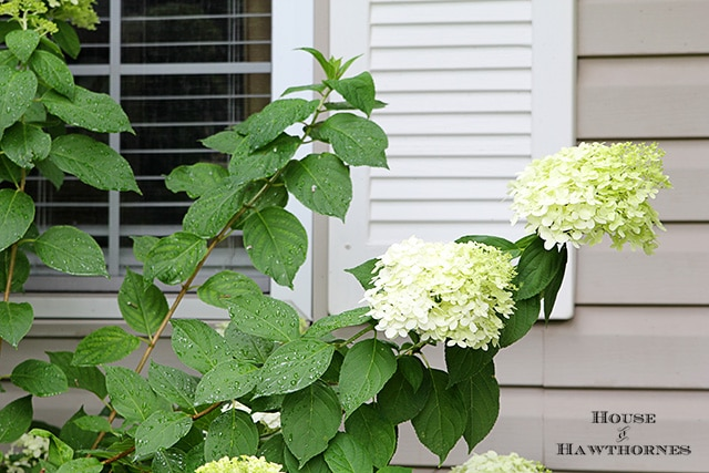 How to grow and care for your Limelight Hydrangea. A beautiful deciduous shrub for your garden which is very forgiving and easy to grow.