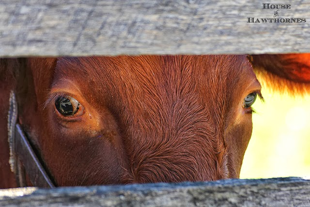 Cow giving us the eye