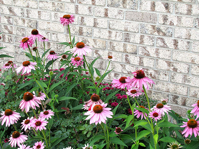 Purple Coneflower, an easy to grow perennial