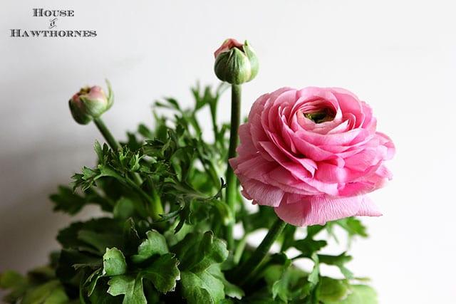Pink Rununculus