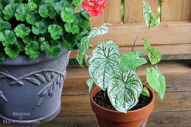 Caladium is a old fashioned flower making a huge comeback this year