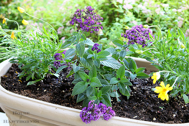 Marine Heliotrope and other flowers that you might have found in your grandma's flower garden