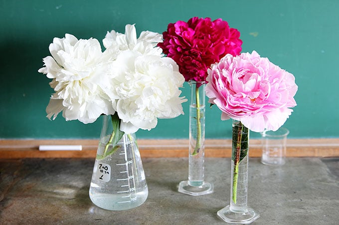 Peonies using Chemistry flasks for upcyclced vases