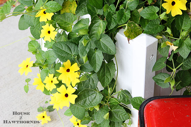 Black-eyed Susan vine on a fun summer porch with a bit of vintage decor
