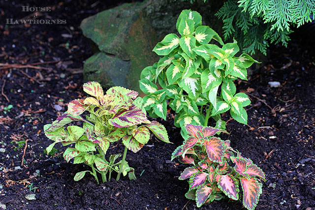 Wizard Mix Coleus and other flowers that you might have found in your grandma's flower garden