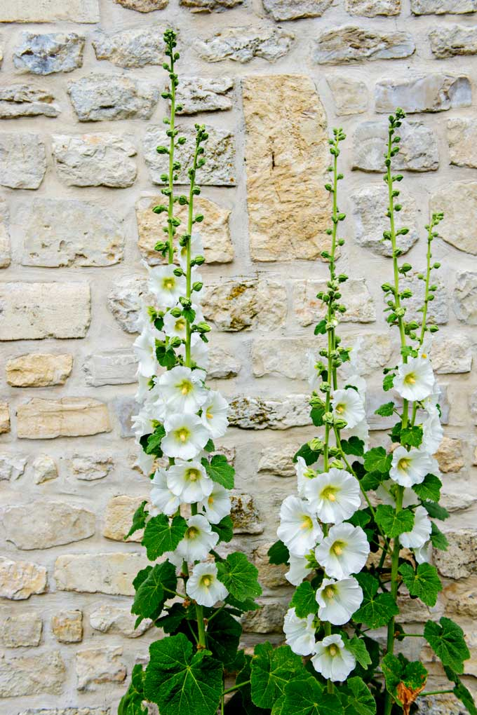 Hollyhocks growing along a brick wall