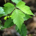 Identifying & Treating Poison Ivy