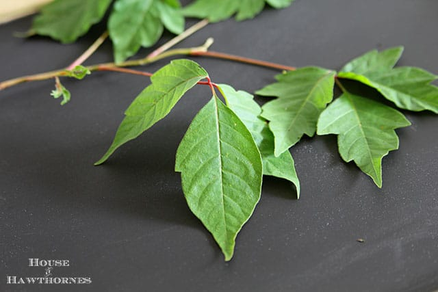 How to identify poison ivy and ways to help prevent getting a rash from it.