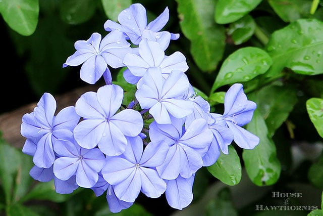 Imperial Blue Plumbago growing in a vintage flower bed