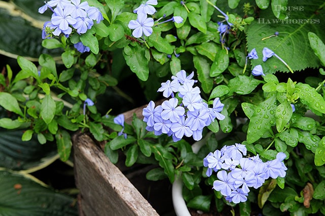 How to grow plumbago