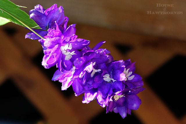 A delphinium bloom and thoughts on summer's end via houseofhawthornes.com