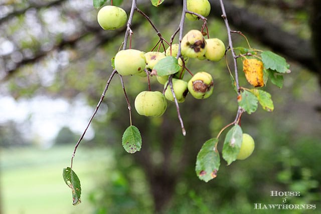 Crabapples, the fruit from heck