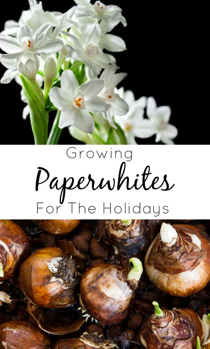 How to grow Paperwhites for Christmas, including growing paperwhites in mason jars for great hostess or teacher gifts for Christmas! #paperwhites #christmasdecor #wintergardening #forcingblubs #christmas #holidays #winter
