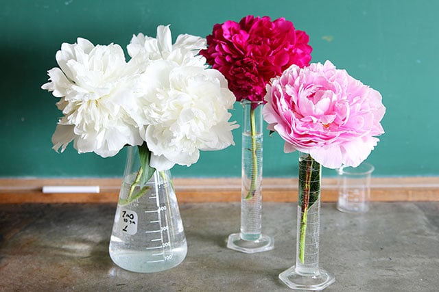 Pretty peonies arranged in chemistry flasks