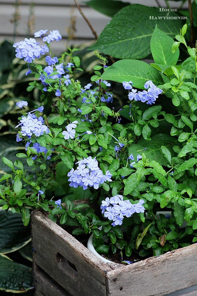 Plumbago care, tips and tricks