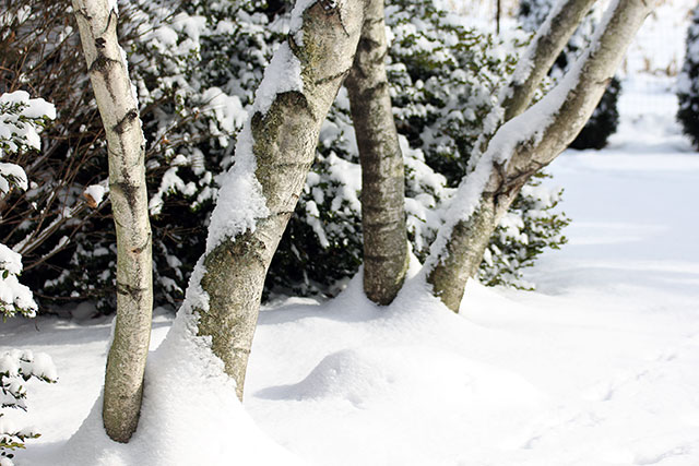 Birch trees in the snow