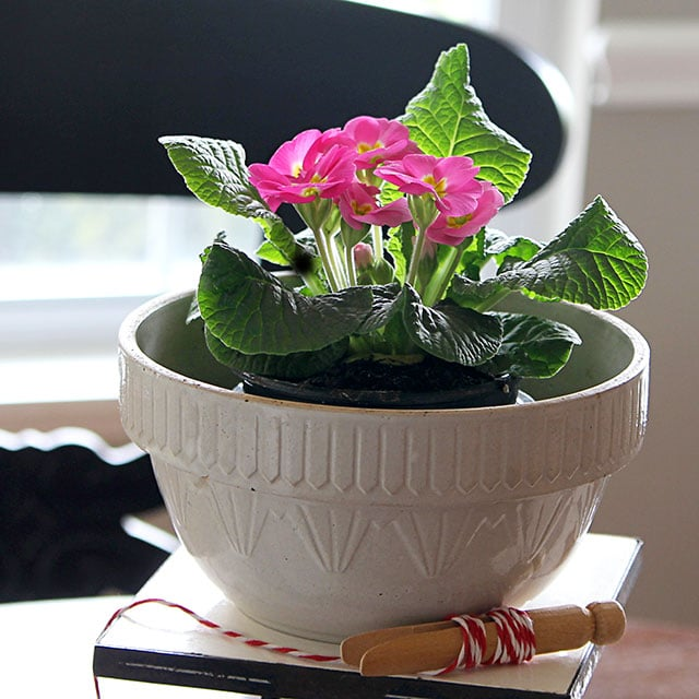 A pink primrose in a vintage stoneware mixing bowl - also has DIY tips on growing primroses (Primula) indoors.