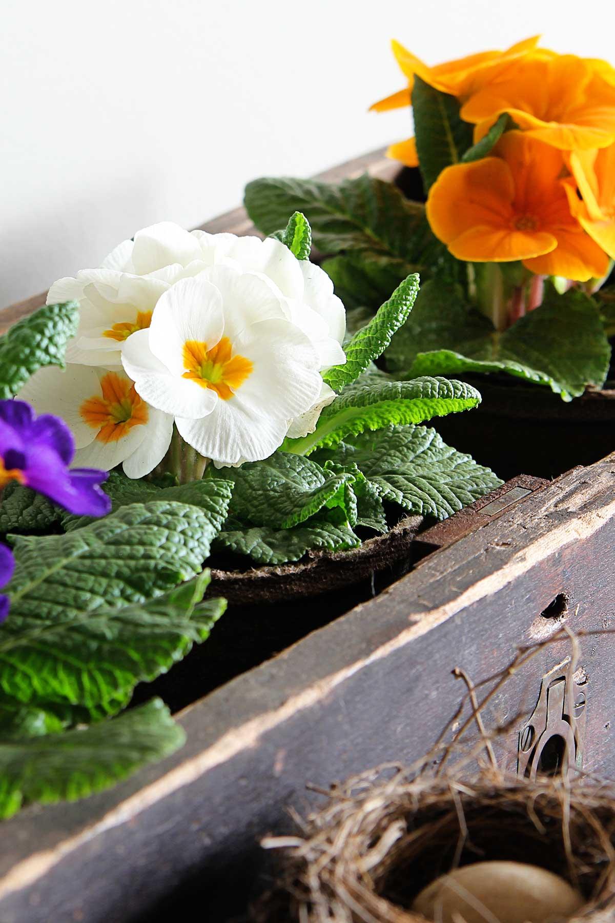 caring for primrose