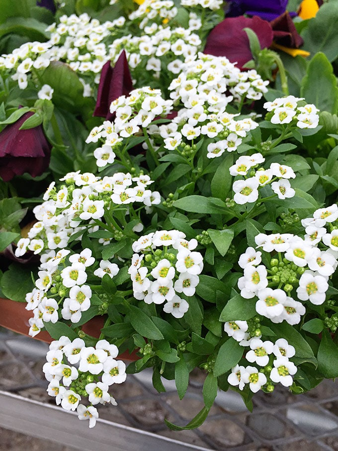 Alyssum (Lobularia maritima) - Cold tolerant early spring flowers to plant now and enjoy all spring long. These colorful plants can survive a light frost and keep looking great.