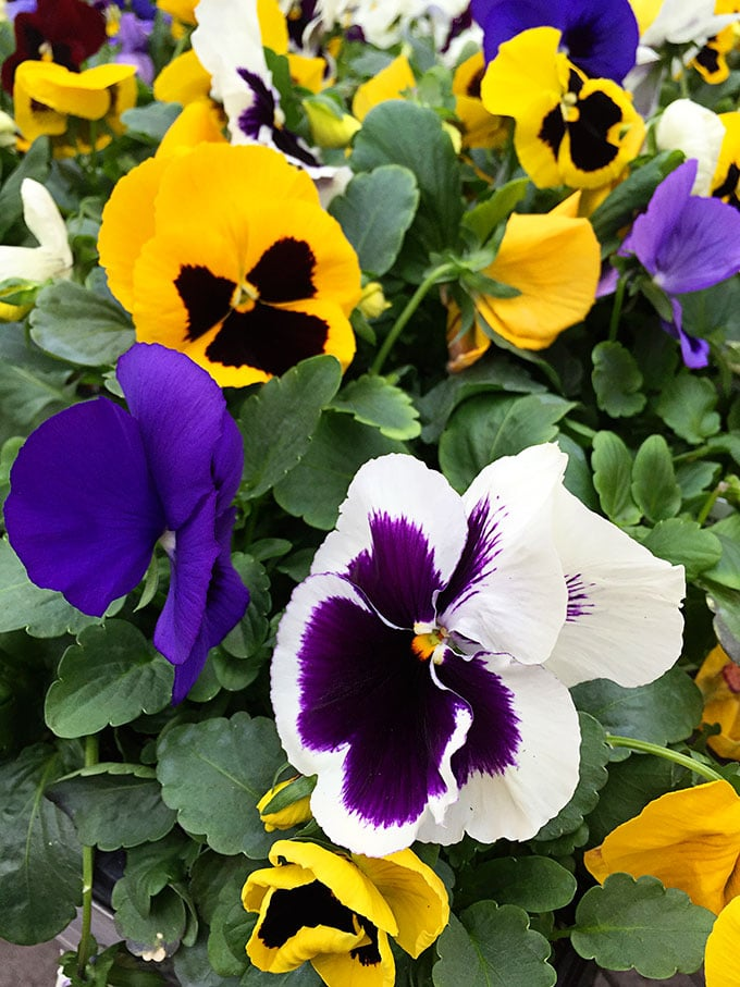 Pansy (Viola x wittrockiana) - Cold tolerant early spring flowers to plant now and enjoy all spring long. These colorful plants can survive a light frost and keep looking great.