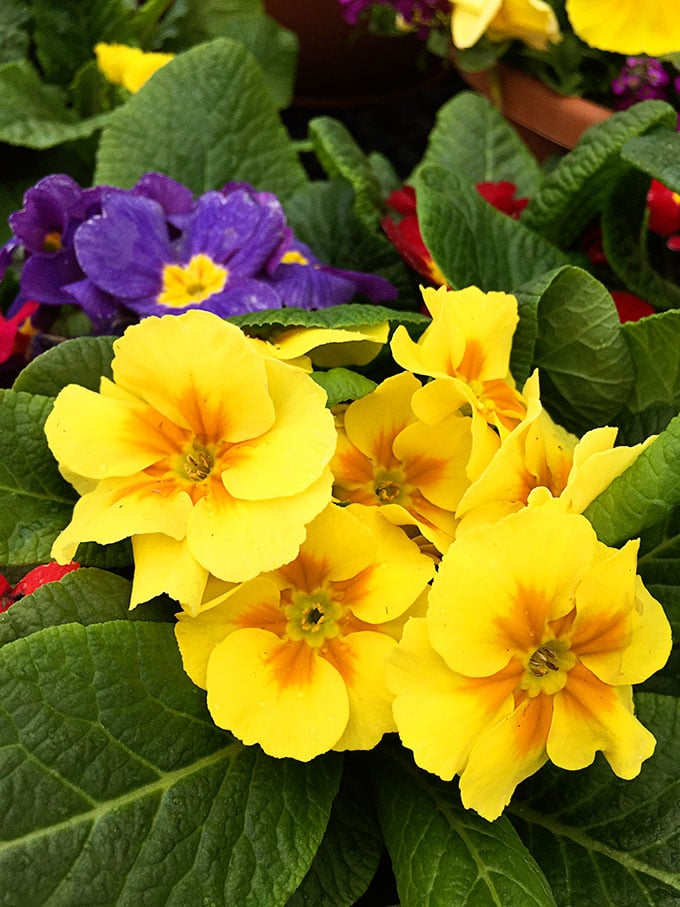 Primrose (Primula polyantha) - Cold tolerant early spring flowers to plant now and enjoy all spring long. These colorful plants can survive a light frost and keep looking great.