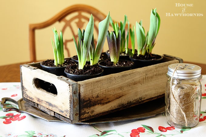 Spring bulbs in a wooden crate